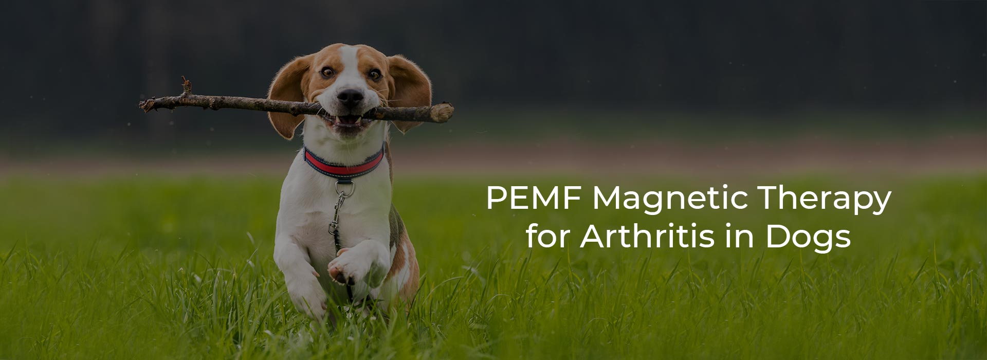 PEMF Magnetic Therapy for Arthritis in Dogs
