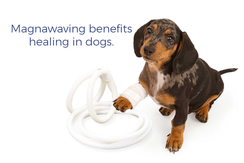 Magnawaving benefits healing in dogs.
