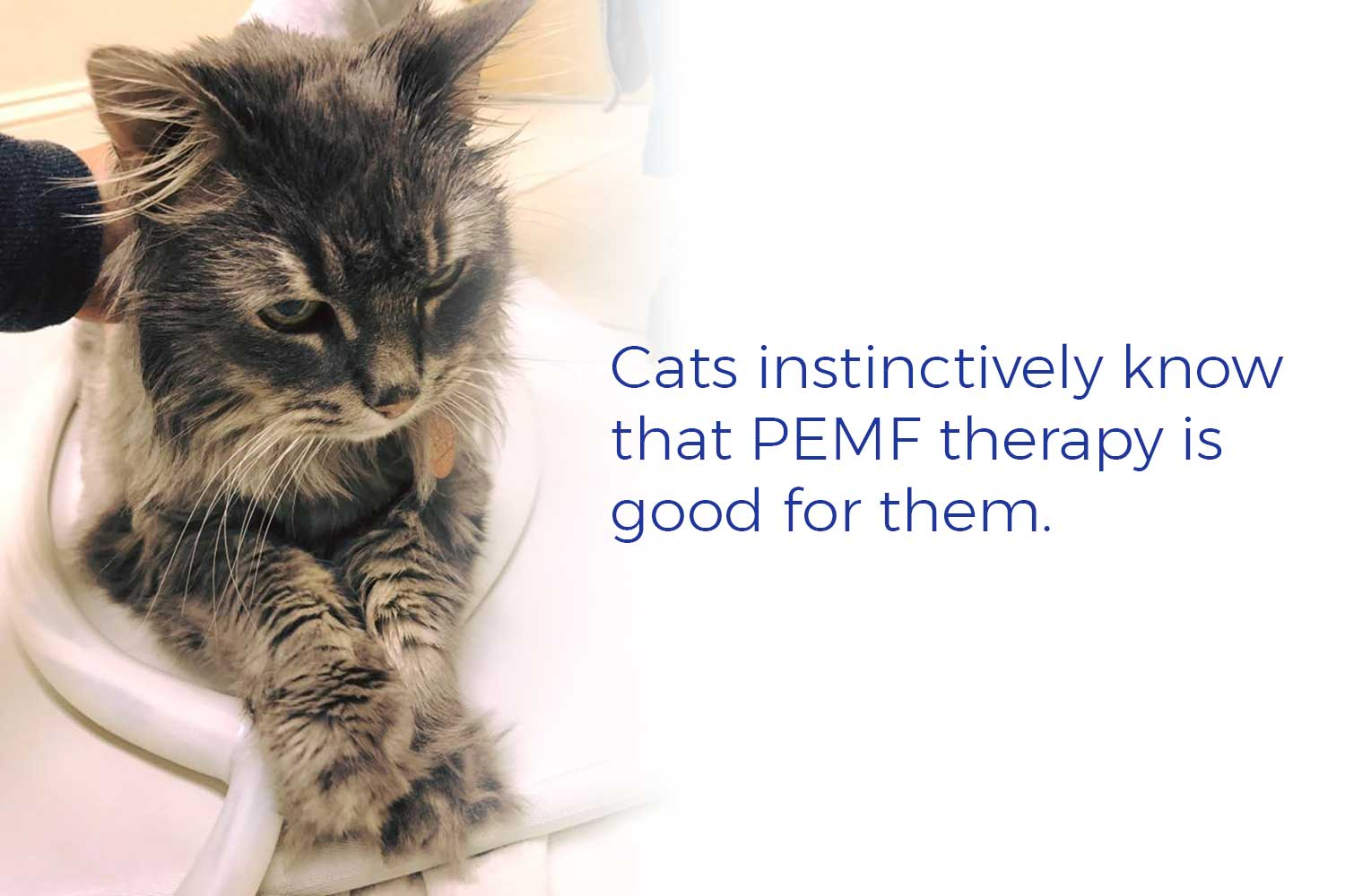 Cats instinctively know that PEMF therapy is good for them.